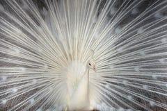El pavo real blanco Fotografía de archivo libre de regalías