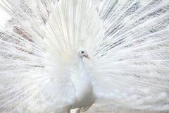 El pavo real blanco muestra su pluma de cola Imágenes de archivo libres de regalías