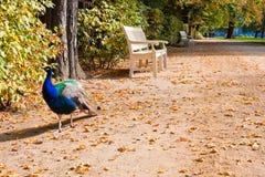 El pavo real camina el callejón en el parque de Lazienki, Varsovia Fotografía de archivo