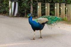El pavo real camina a lo largo de la trayectoria Foto de archivo libre de regalías