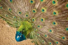 El pavo real con sus plumas se abre. Imagenes de archivo