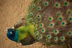El pavo real con sus plumas se abre. Imágenes de archivo libres de regalías
