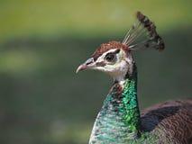 El pavo real del colorfull Imagenes de archivo