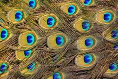El pavo real empluma el fondo Imagen de archivo
