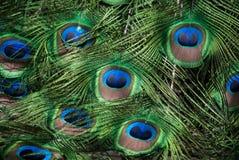 El pavo real empluma el fondo Imagen de archivo libre de regalías