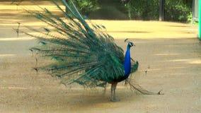 El pavo real empluma sacudidas y separa su cola