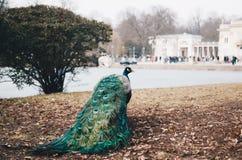 El pavo real en Lazienki o los baños reales parquea en Varsovia en Polonia foto de archivo
