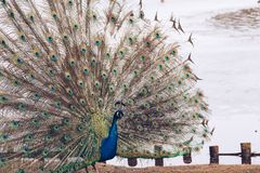 El pavo real en Lazienki o los baños reales parquea en Varsovia en Polonia fotos de archivo
