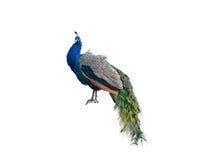 El pavo real grande Fotografía de archivo libre de regalías