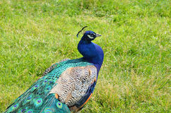 El pavo real masculino Foto de archivo