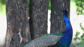 El pavo real masculino almacen de metraje de vídeo
