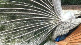 El pavo real masculino que lo muestra es fan del color metrajes