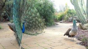 El pavo real masculino que lo muestra es fan del color intenta atraer a la hembra almacen de metraje de vídeo