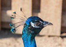 el pavo real o el peafowl masculino azul que lo muestra apenas es principal y cuello Imagen de archivo