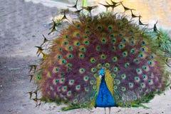 El pavo real que muestra apagado empluma fotografía de archivo libre de regalías