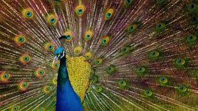 El pavo real sacude sus plumas