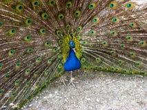 El pavo real se jacta sobre la belleza de su cola