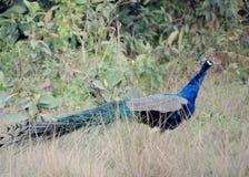 El peafowl indio fotografía de archivo