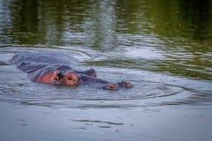 El pegarse principal del hipopótamo fuera del agua Imagen de archivo