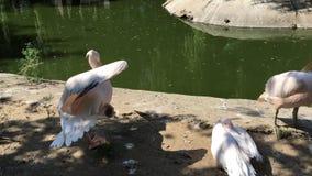 El pelícano blanco limpia plumas almacen de video