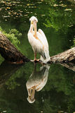 El pelícano coloca en un inicio de sesión el centro del lago Foto de archivo