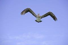 El pelícano del vuelo Foto de archivo