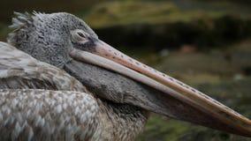 El pelícano gris o el pelícano punto-cargado en cuenta se acuesta Animales de la fauna metrajes