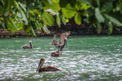El pelícano juvenil seca las alas, sal de Punta, Honduras Fotos de archivo