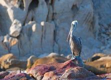 El pelícano masculino se encaramó en la roca oxidada de Pelikan en Cabo San Lucas Baja Mexico Imagenes de archivo