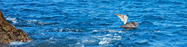 El pelícano que come y que traga abajo de un pescado recién pescado acerca a Los Arcos/tierras termina en Cabo San Lucas Baja Mex Imagenes de archivo