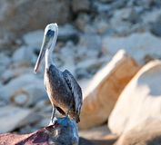 El pelícano se encaramó en la roca de Pelikan en Cabo San Lucas Baja Mexico Foto de archivo