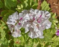 El Pelargonium blanco y rosado florece en el jardín fotos de archivo libres de regalías
