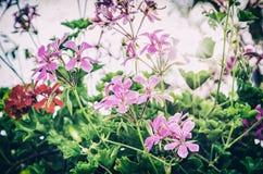 El Pelargonium púrpura y rojo florece, filtro análogo Foto de archivo