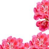 El Pelargonium rojo, geranios florece con los brotes, cierre para arriba, fondo de la textura Fotografía de archivo libre de regalías
