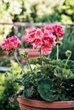 El Pelargonium rosado en conserva florece (hortorum del Pelargonium) en el GA Fotografía de archivo