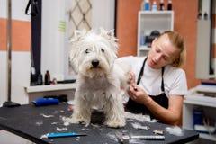 El peluquero siega la piel de Terrier blanco de montaña del oeste en el oído con un condensador de ajuste Foto de archivo