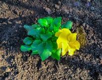 El pensamiento amarillo de la primera primavera en la sol foto de archivo