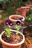 El pensamiento florece en los potes en el fondo del jardín del verano Imágenes de archivo libres de regalías