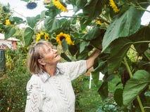 El pensionista está mirando sus girasoles en su jardín Fotografía de archivo libre de regalías