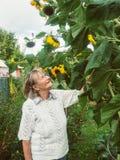 El pensionista está mirando sus girasoles en su jardín Foto de archivo