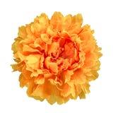El peon de Terry de la flor pintó en semi los colores aislados en el backg blanco fotos de archivo