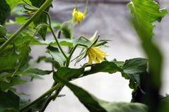 El pepino amarillo florece en el invernadero atado a una cuerda imágenes de archivo libres de regalías