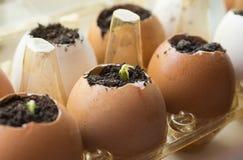 El pepino brota en los envases de la cáscara y del huevo en el alféizar Fotografía de archivo libre de regalías