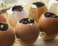El pepino brota en los envases de la cáscara y del huevo en el alféizar Foto de archivo libre de regalías
