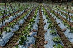 El pepino de la granja está creciendo Foto de archivo libre de regalías