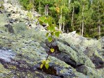 El pequeño árbol de abedul crece en piedra Fotos de archivo libres de regalías