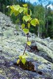 El pequeño árbol de abedul crece en piedra Imágenes de archivo libres de regalías