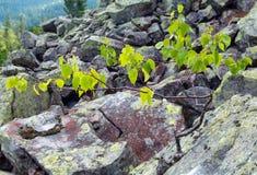 El pequeño árbol de abedul crece en piedra Fotografía de archivo