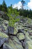 El pequeño árbol de abedul crece en piedra Imagen de archivo