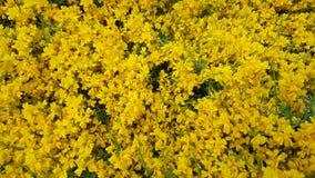 El pequeño amarillo florece el fondo Fotos de archivo libres de regalías